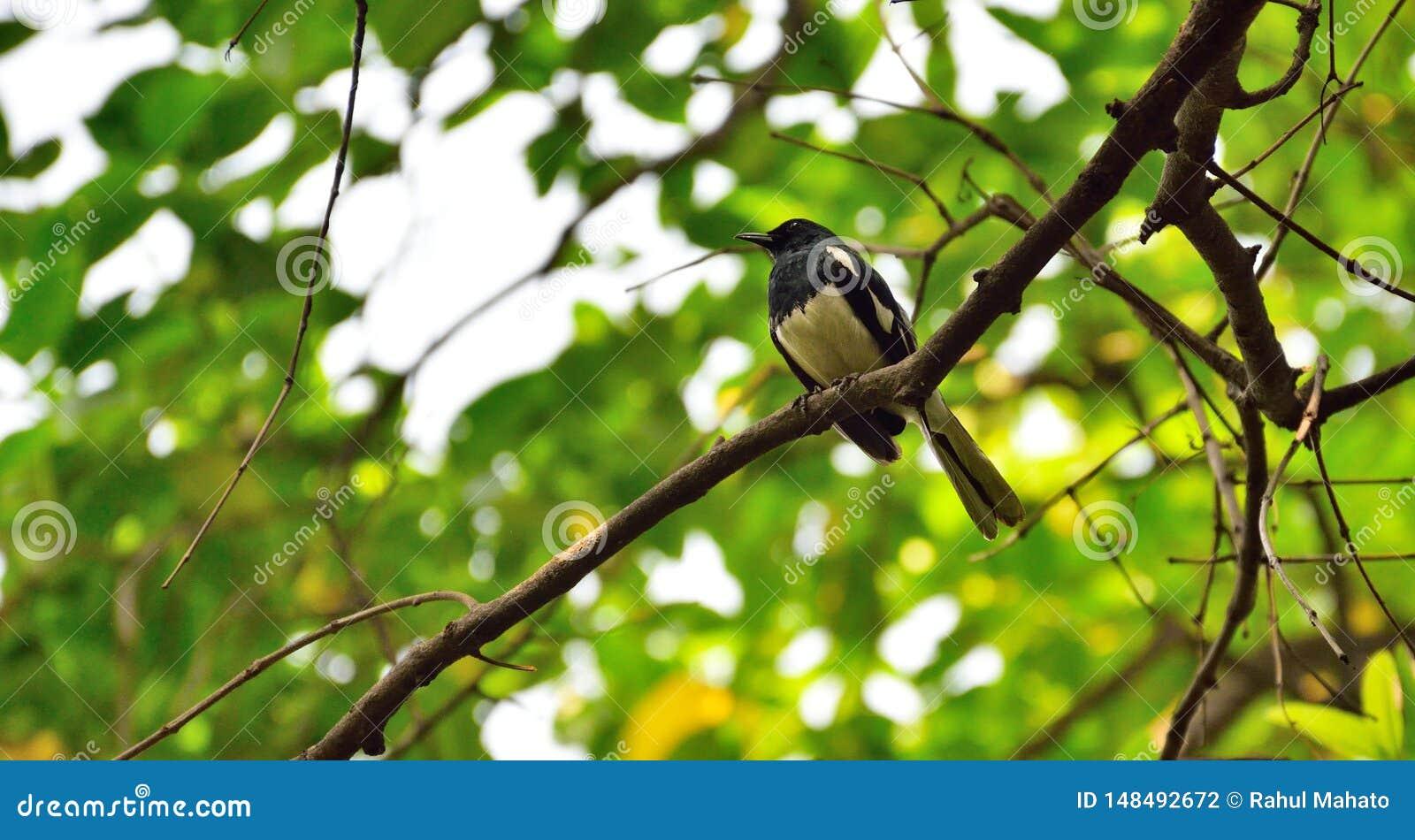 Piccolo uccello bianco e nero sul ramo sfrondato
