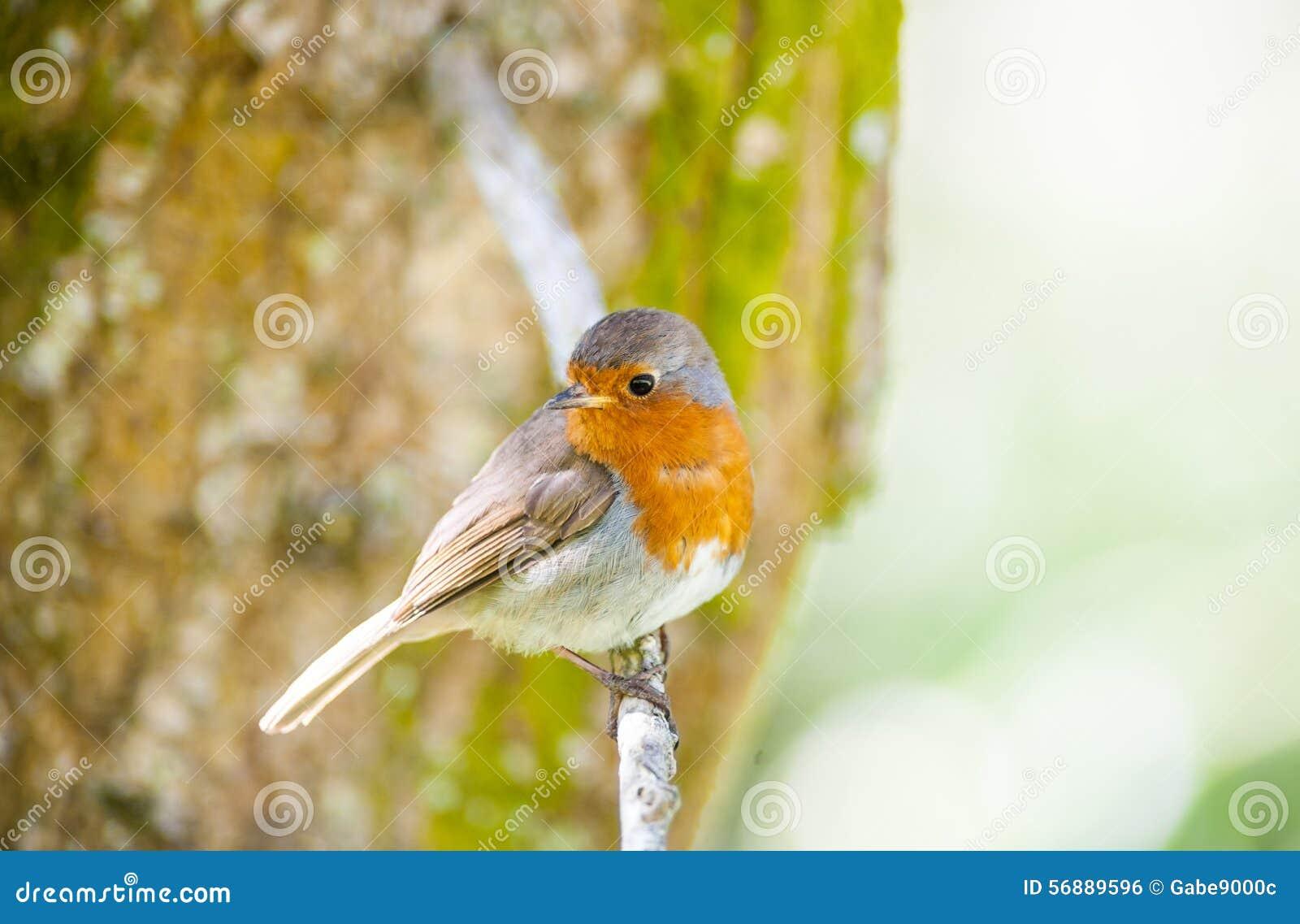 Piccolo uccello sveglio del pettirosso