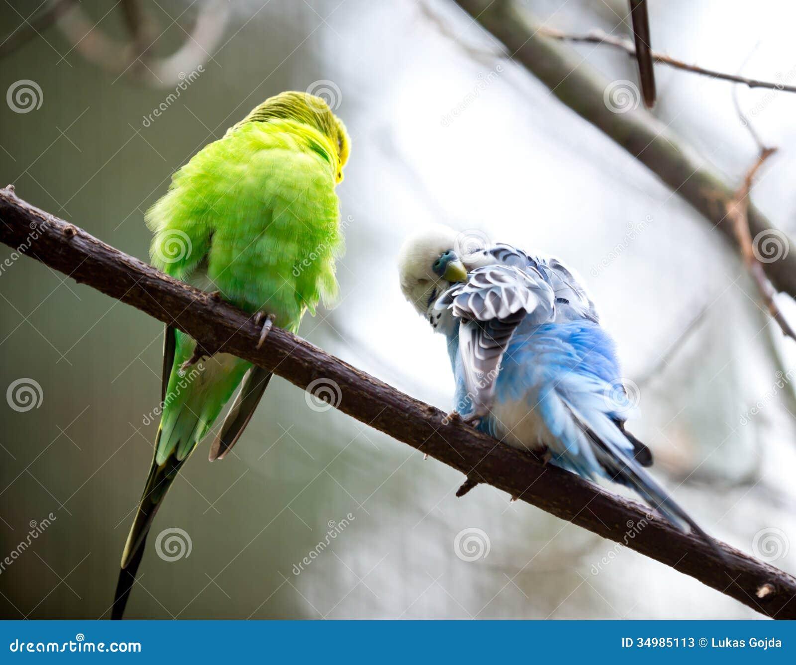 Piccolo uccello sveglio di Budgie