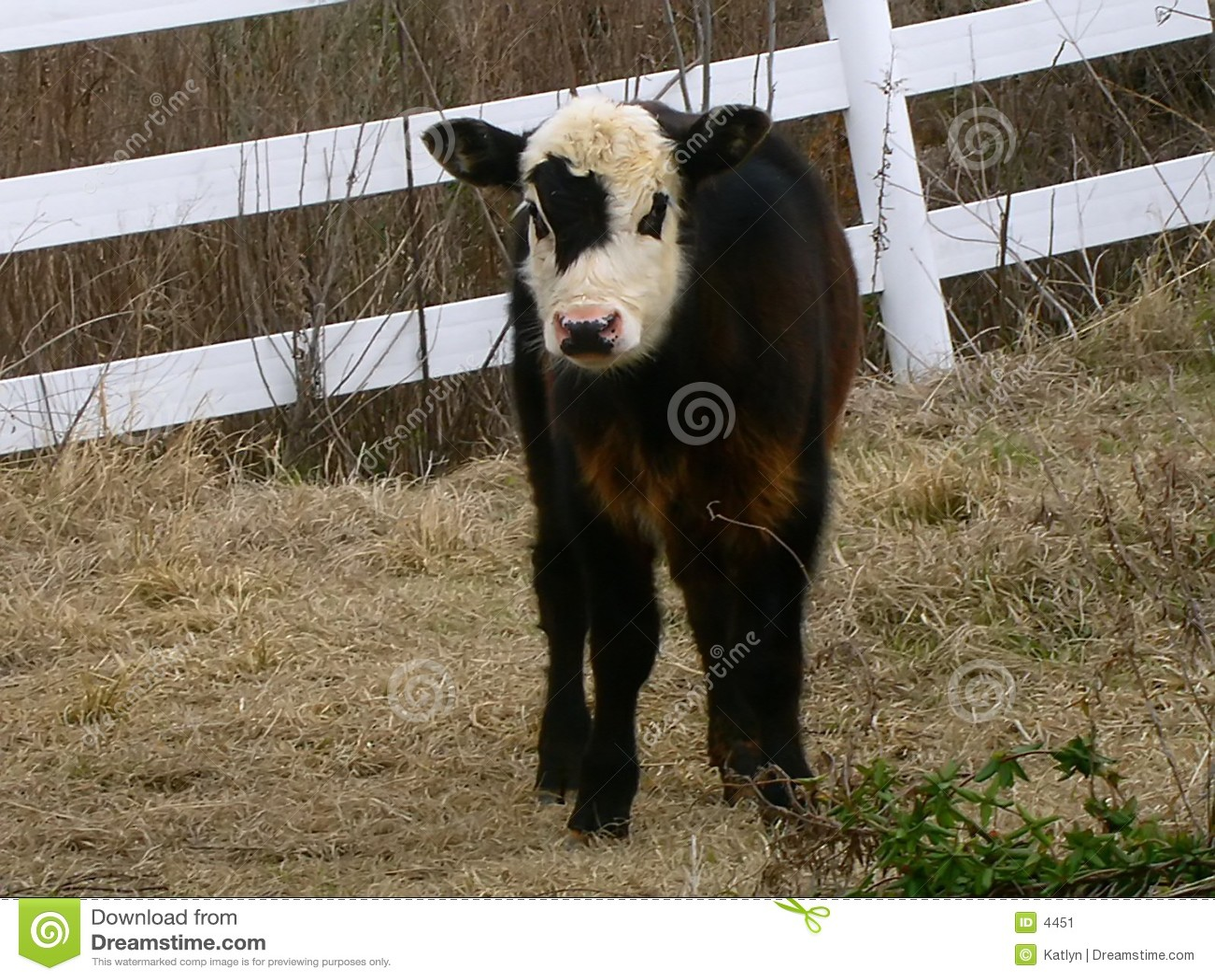 Piccolo vitello