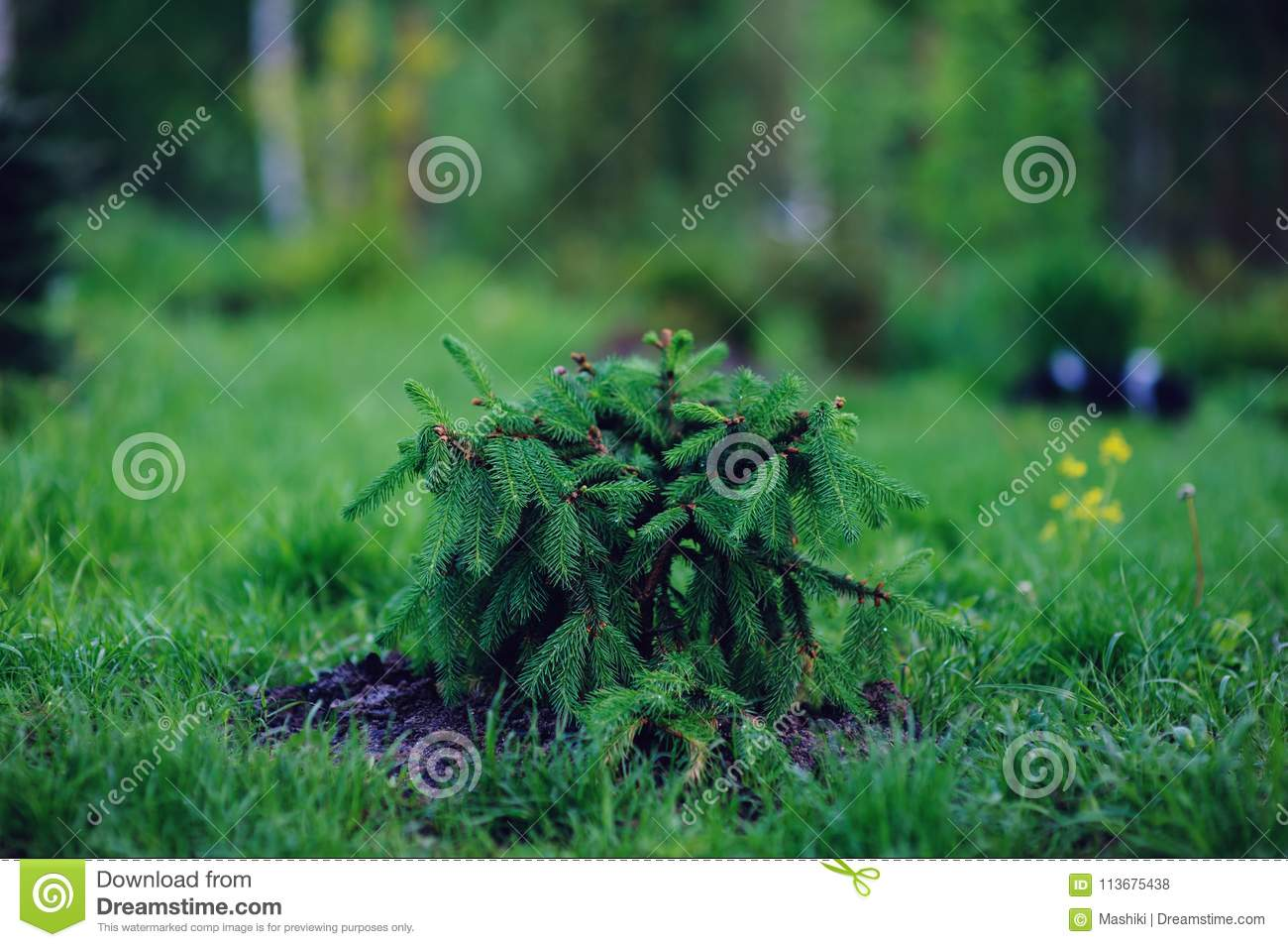Picea Abies Acrocona Young Unusual Weeping Conifer Stock Photo