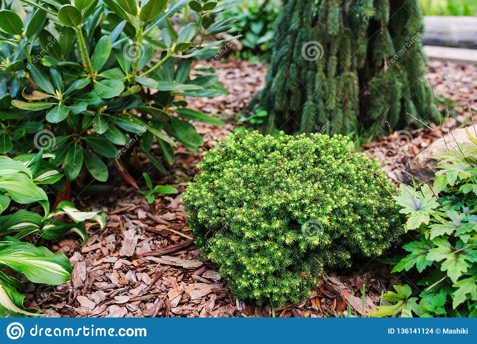 Picea Abies Little Gem Rare Dwarf Conifer Planted In Garden With