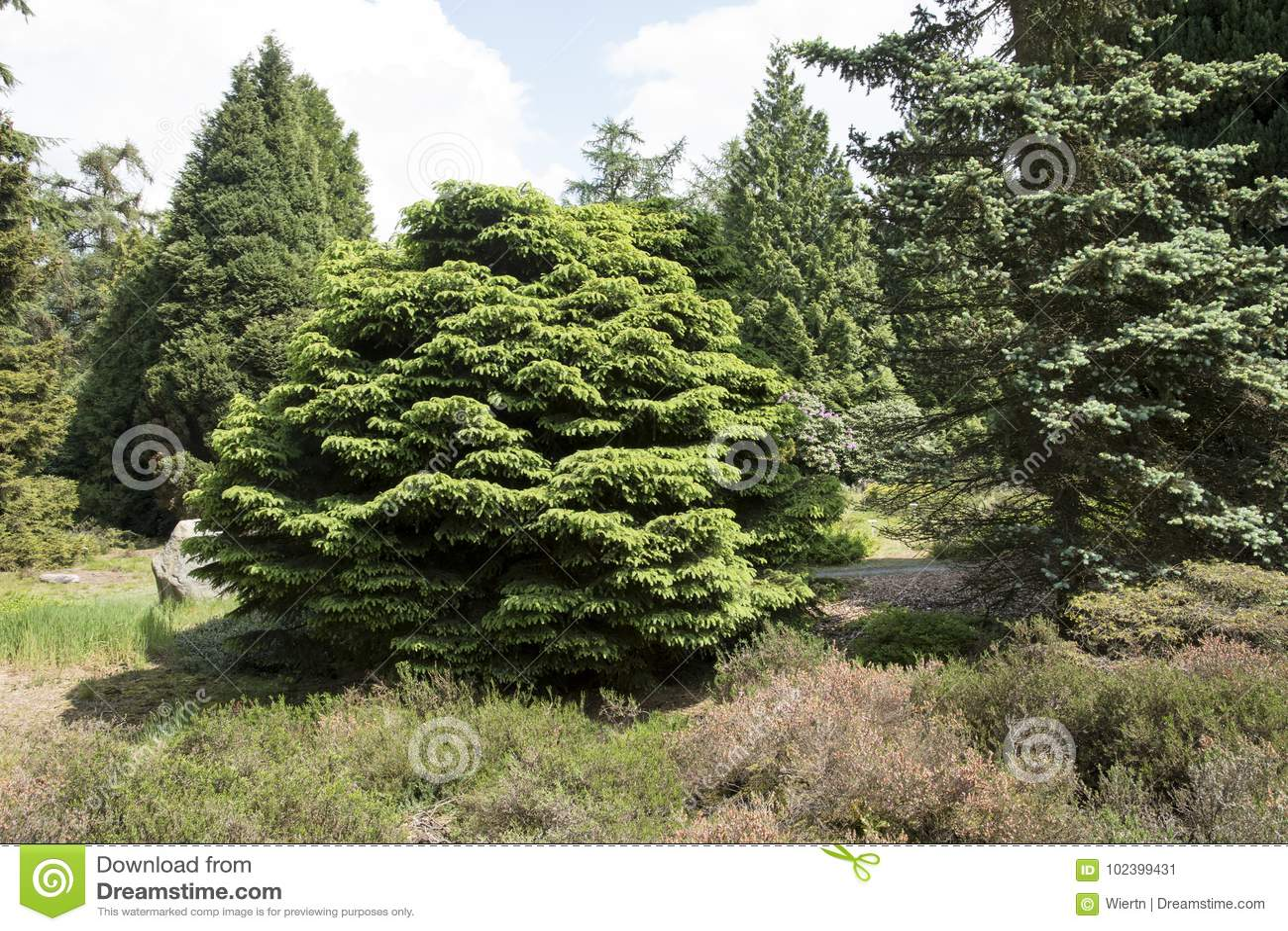Picea Abies Pumila Nigra Stock Image Image Of Evergreen 102399431