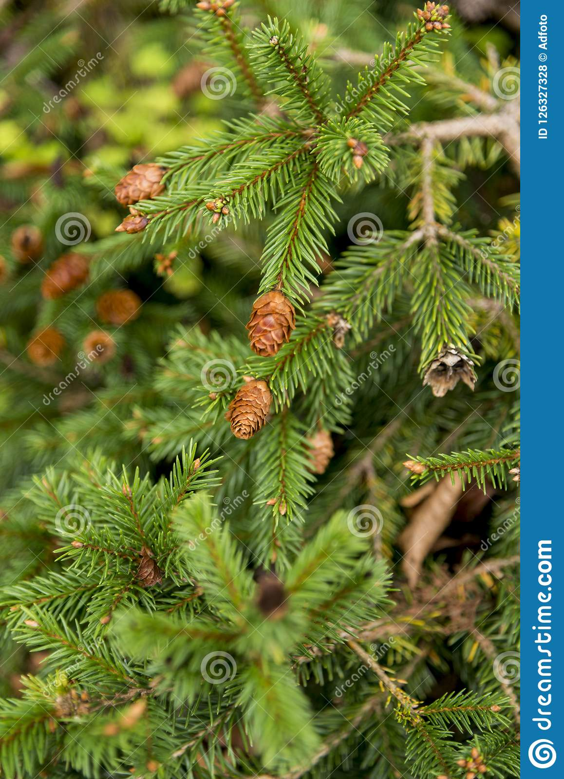 Picea Abies Pusch The Norway Spruce Stock Photo Image Of