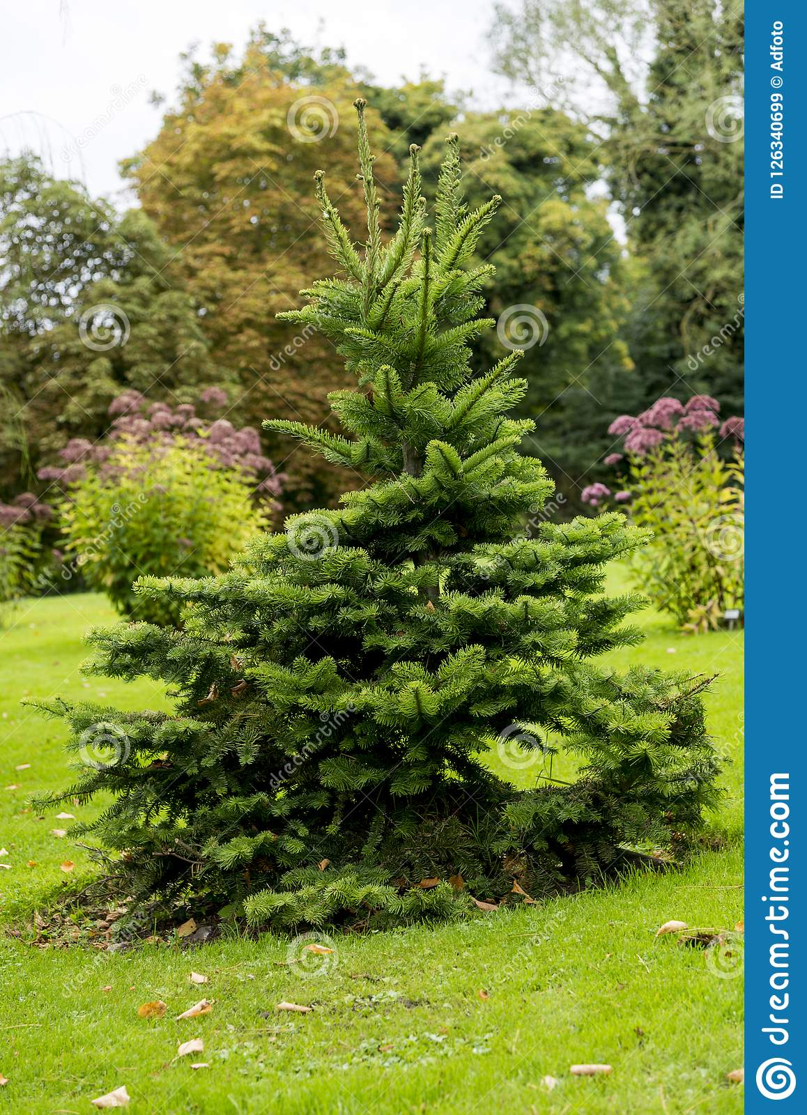 Picea Abies Pusch The Norway Spruce Stock Image Image Of