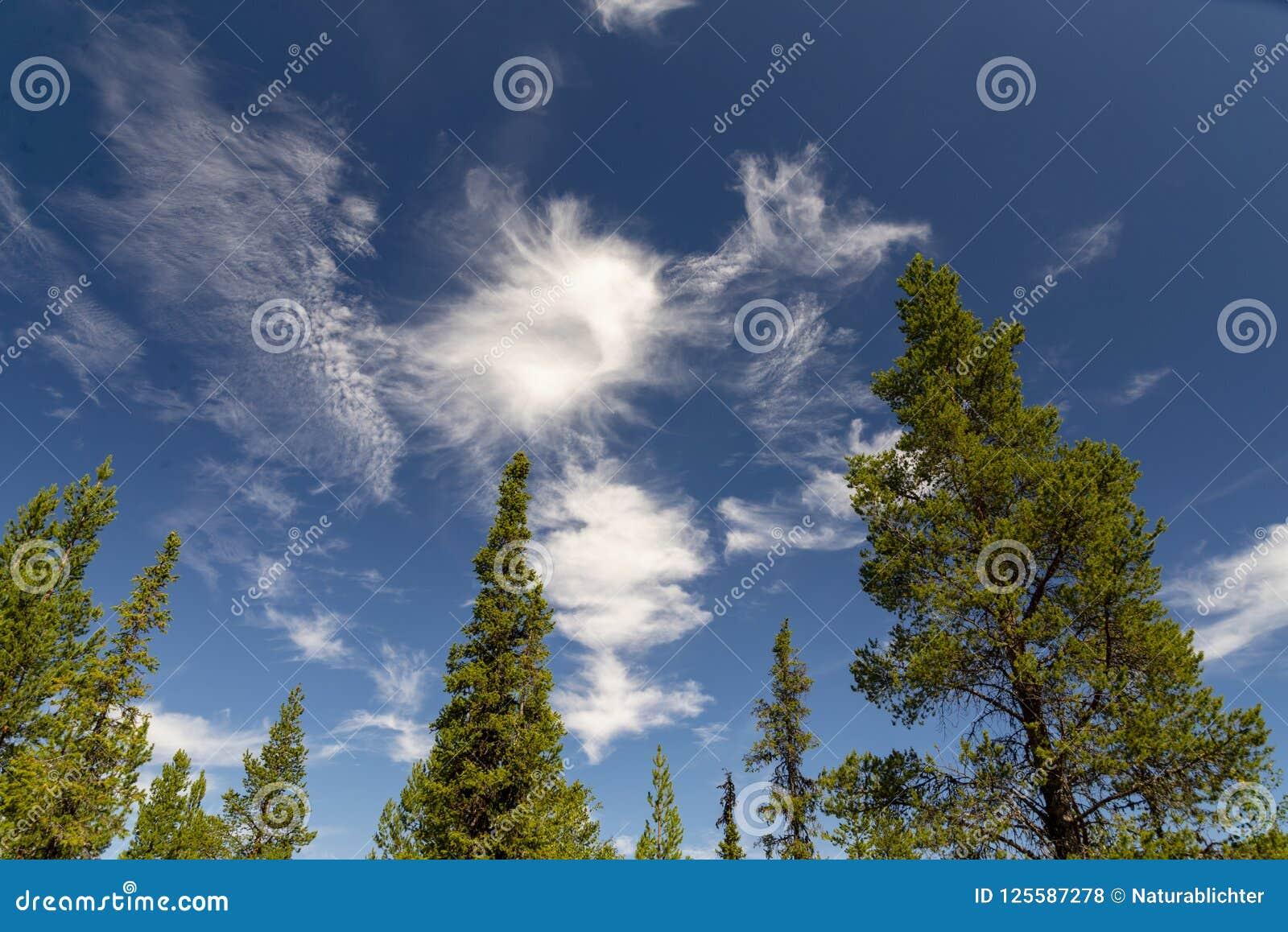 Piceas y pinos en sueco Laponia