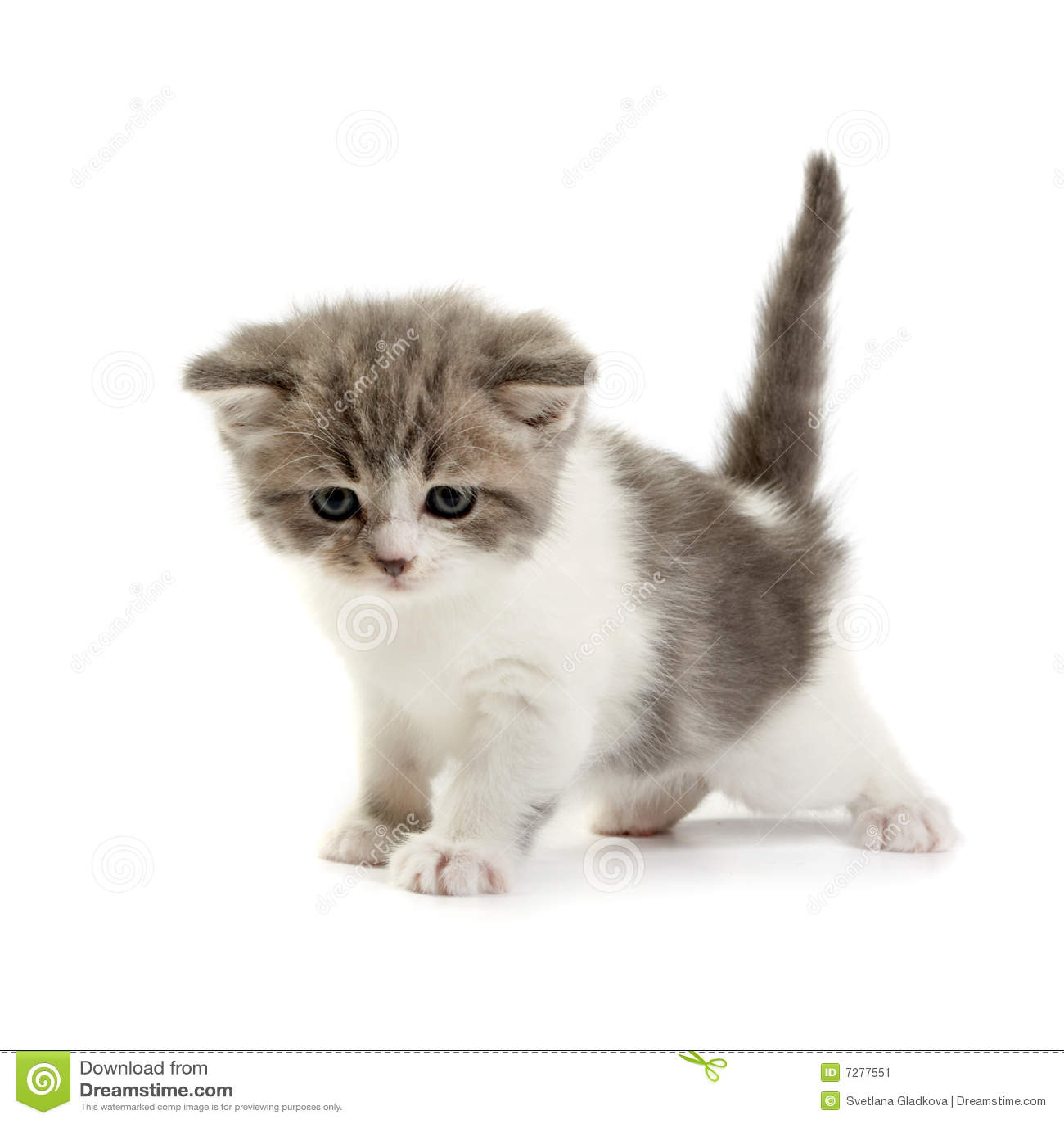 Pi ces de chaton sur un fond blanc image stock image 7277551 - Enlever les puces sur un chaton ...