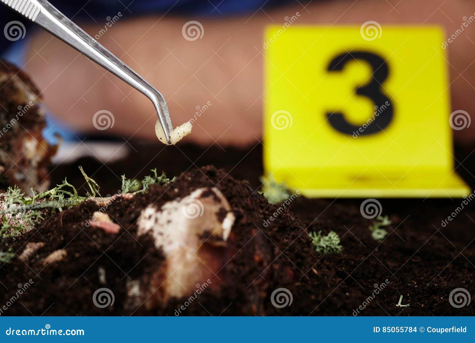 Pick up of fly larva on crime scene