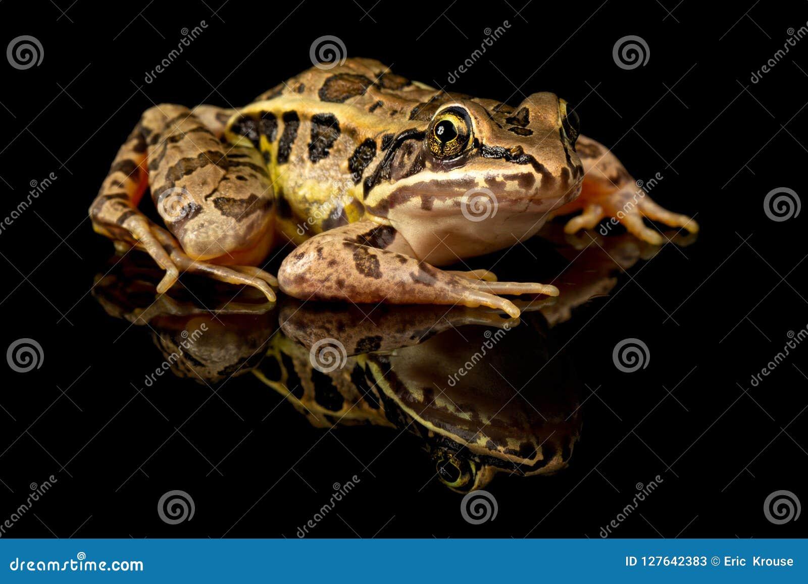 Pickerel żaby studia portret