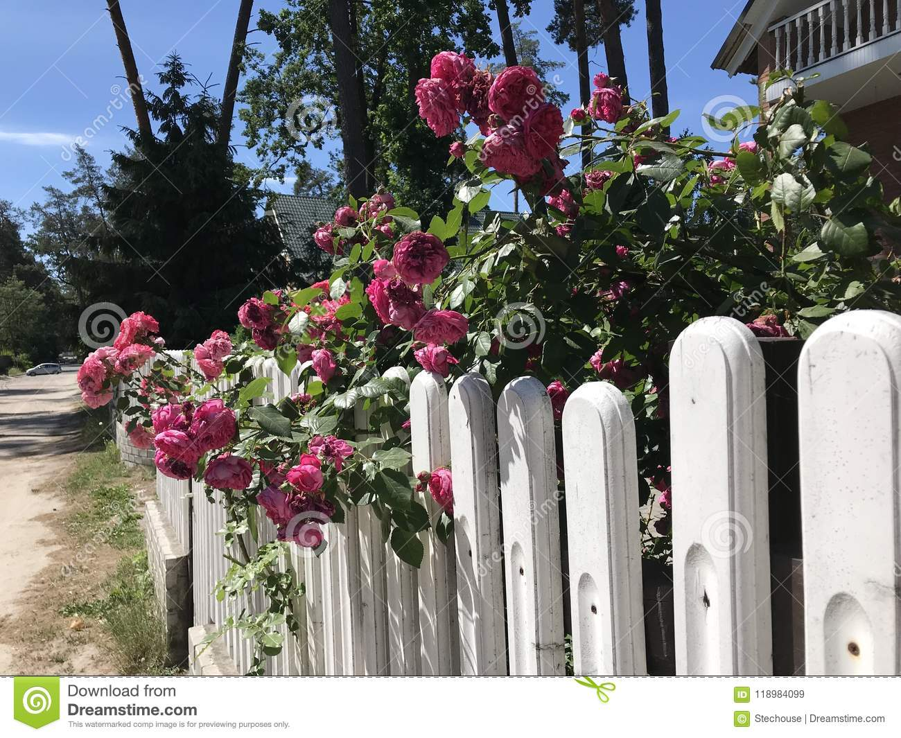 A white picket fence with lovely roses flowers stock image image a white picket fence with lovely roses flowers mightylinksfo