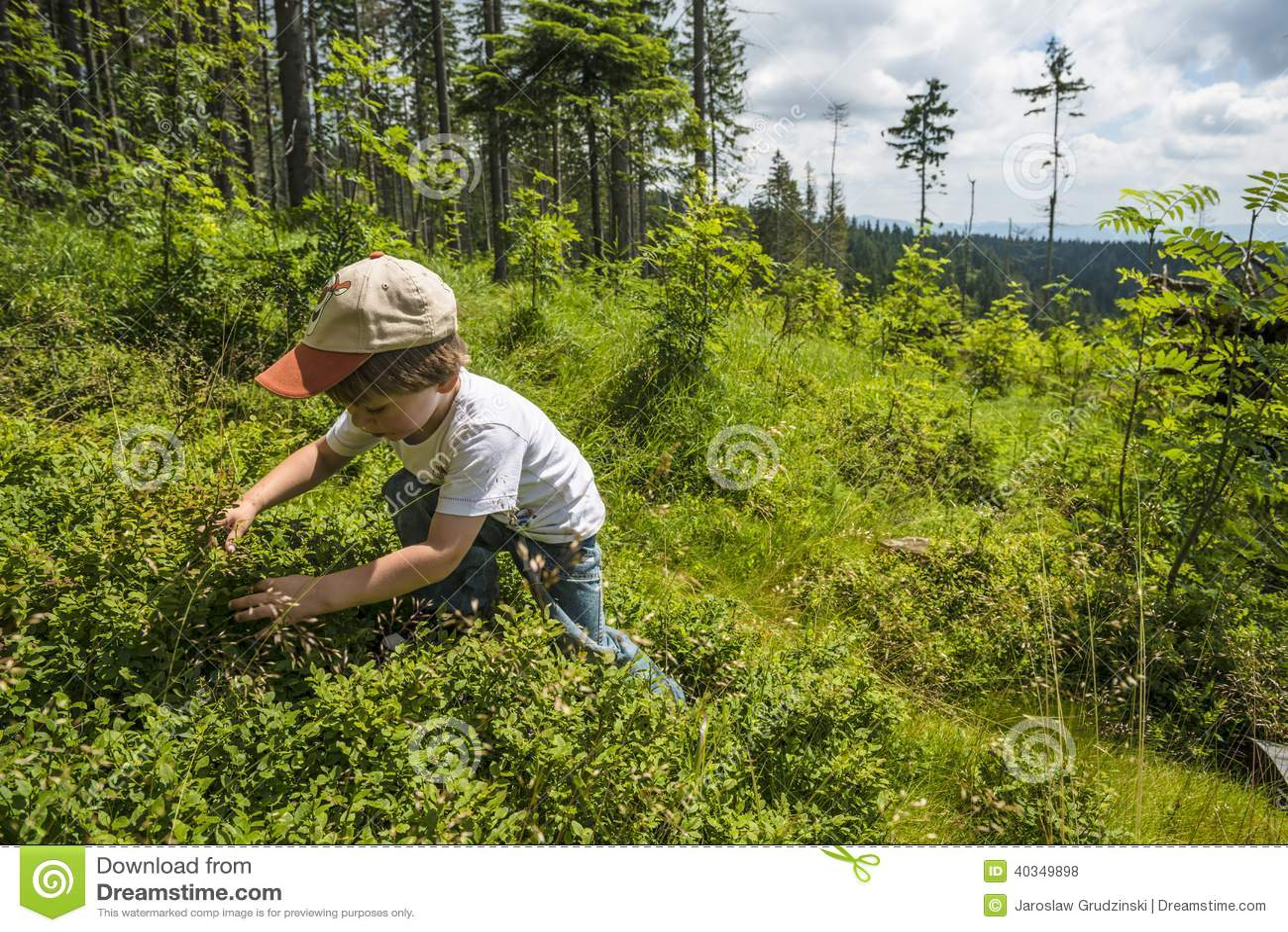 Picking bilberries