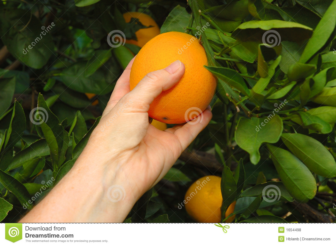 Hand picking a fresh, ripe florida naval orange from its branch.