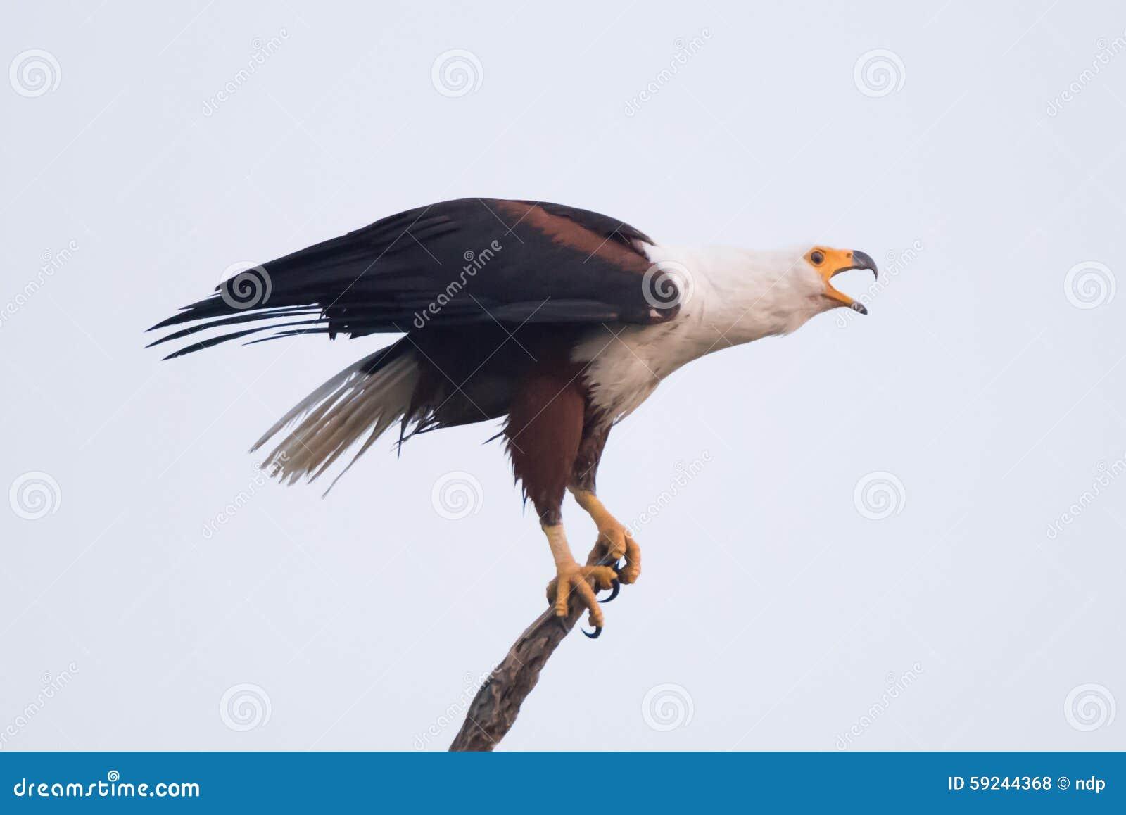 Pico africano de la abertura del águila de pescados a graznar