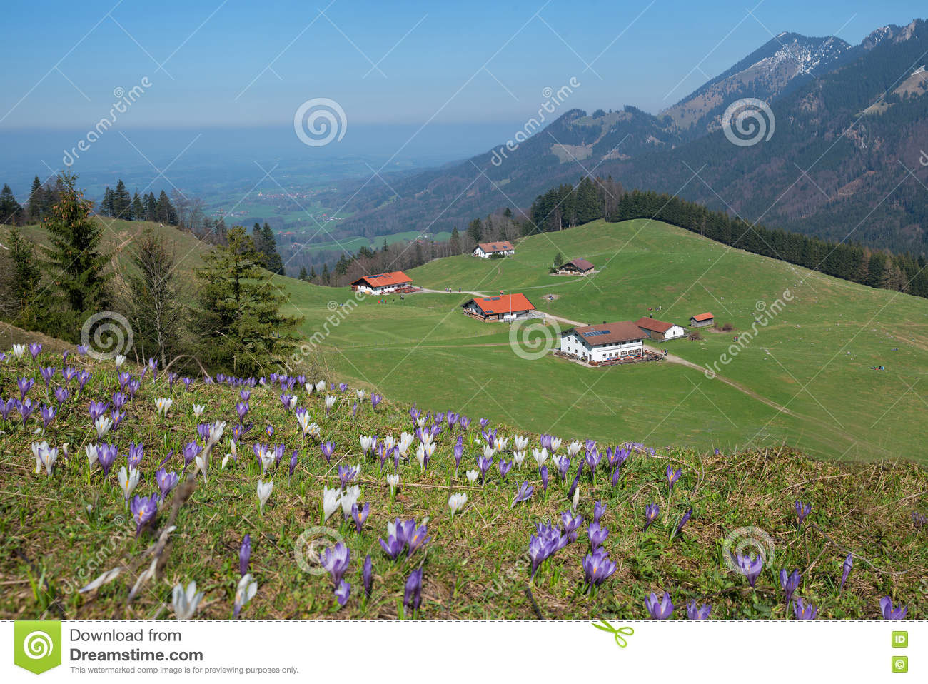 Pictorial alpine landscape with cabins and crocus meadow