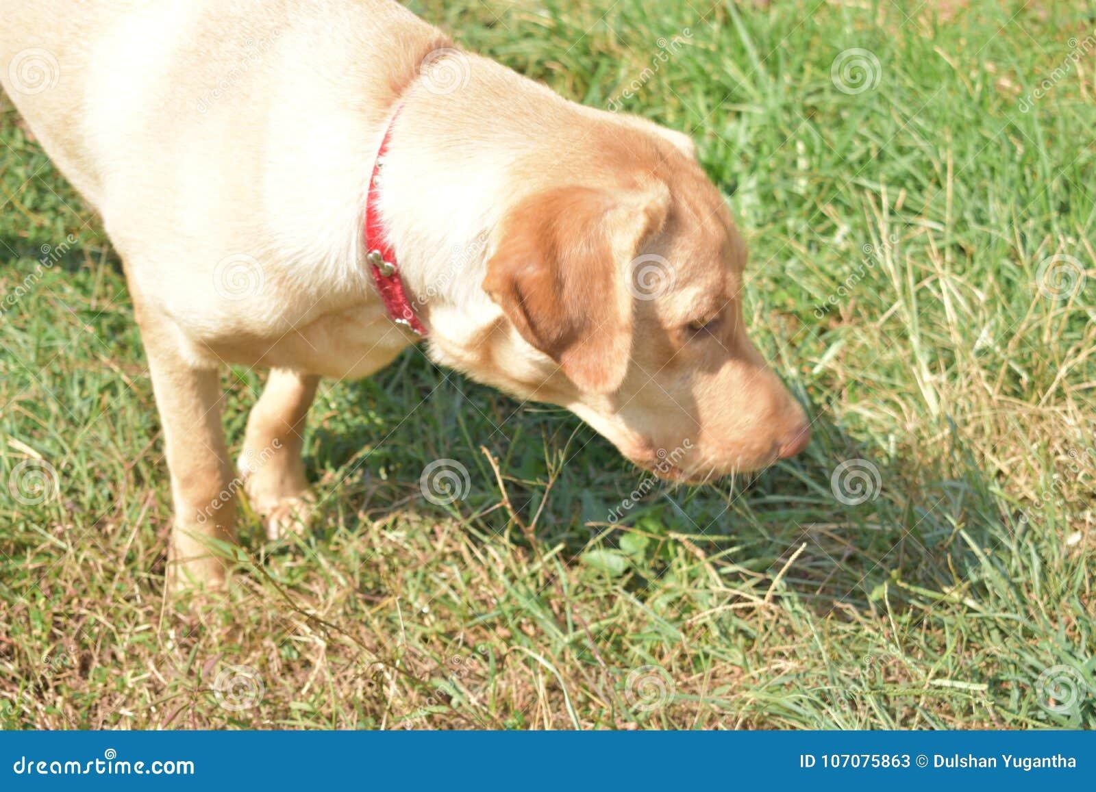 my pet dudley labrador in nature - My Pet Garden