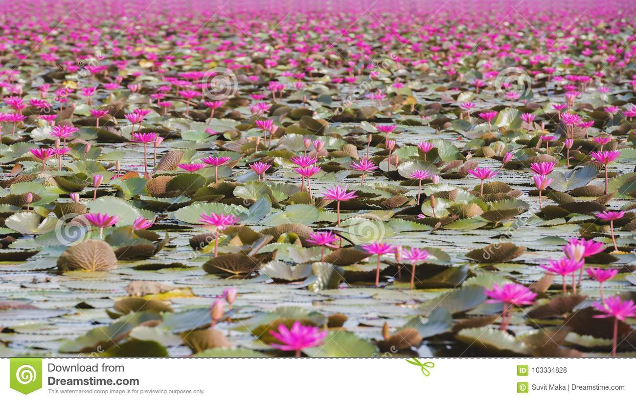 Beautiful Lotus Flower Field At The Red Lotus Sea Stock Photo