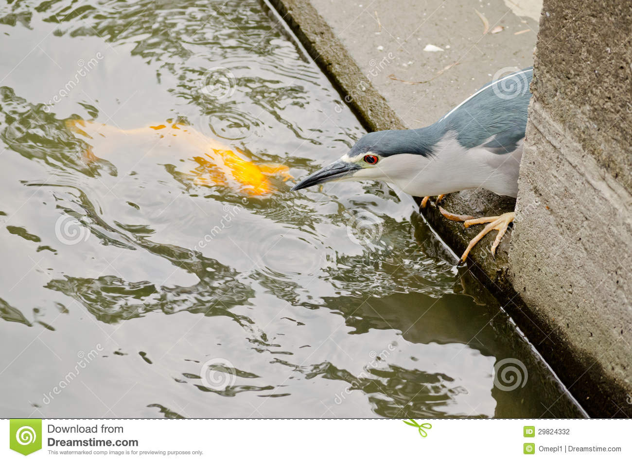 Black crowned night heron fishing stock photo image for Stocked fishing ponds near me