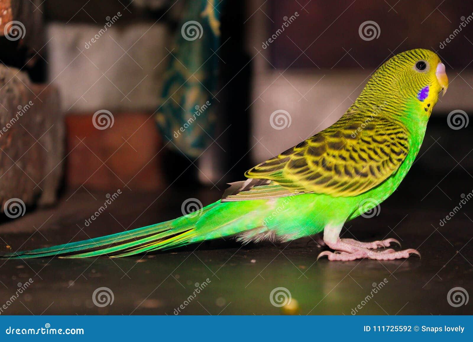 Lovebird Beautiful Green And Yellow Lovebird Stock Photo Image Of Green Lovely 111725592