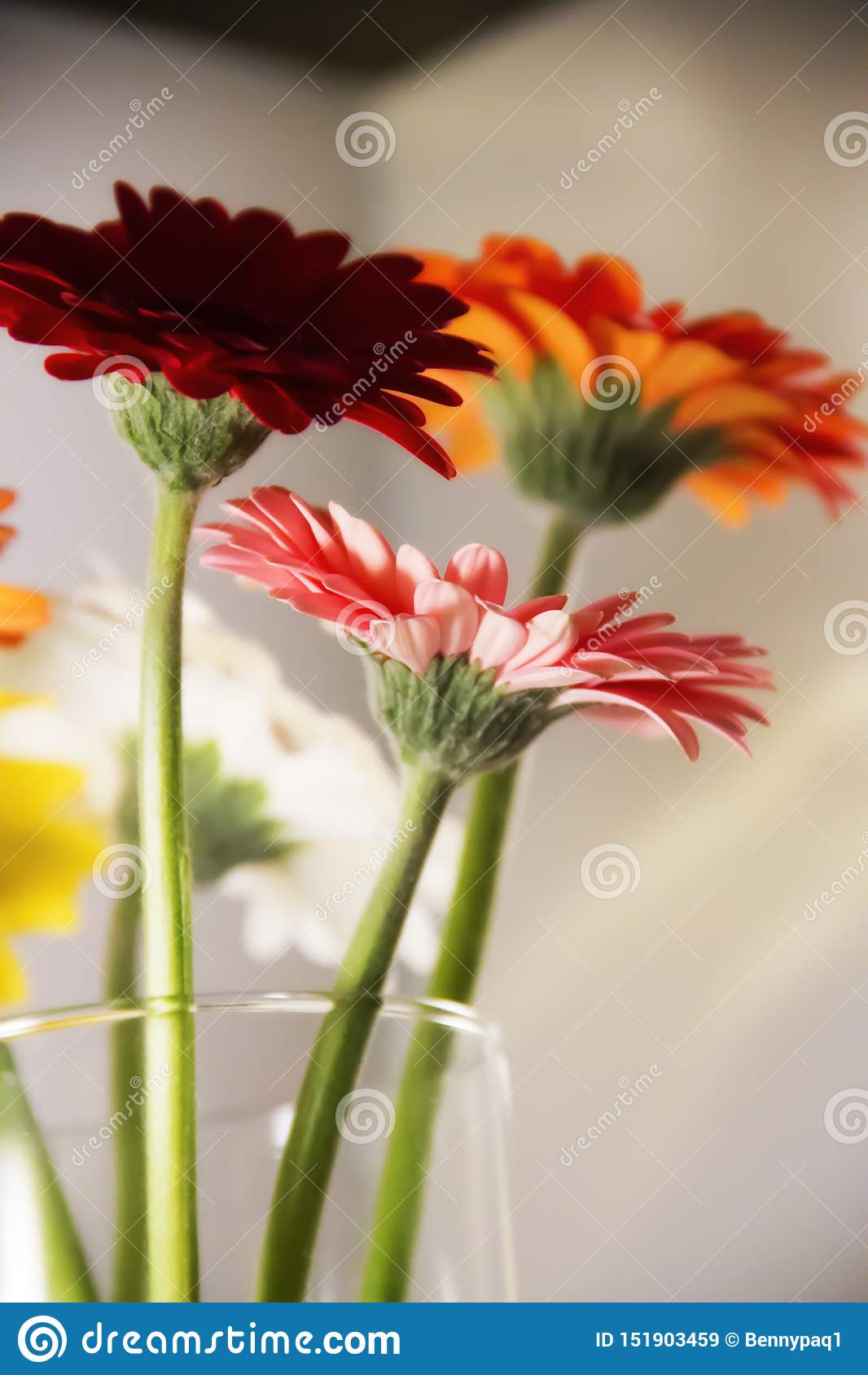 Colorful Gerbera Daisies In A Vase Stock Image - Image of ...