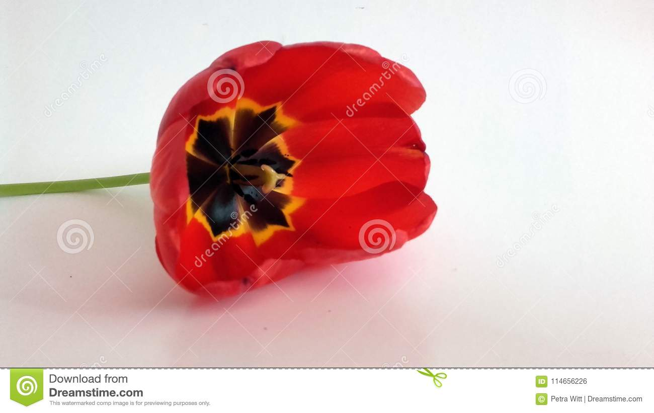 Flower - red smelling tulip