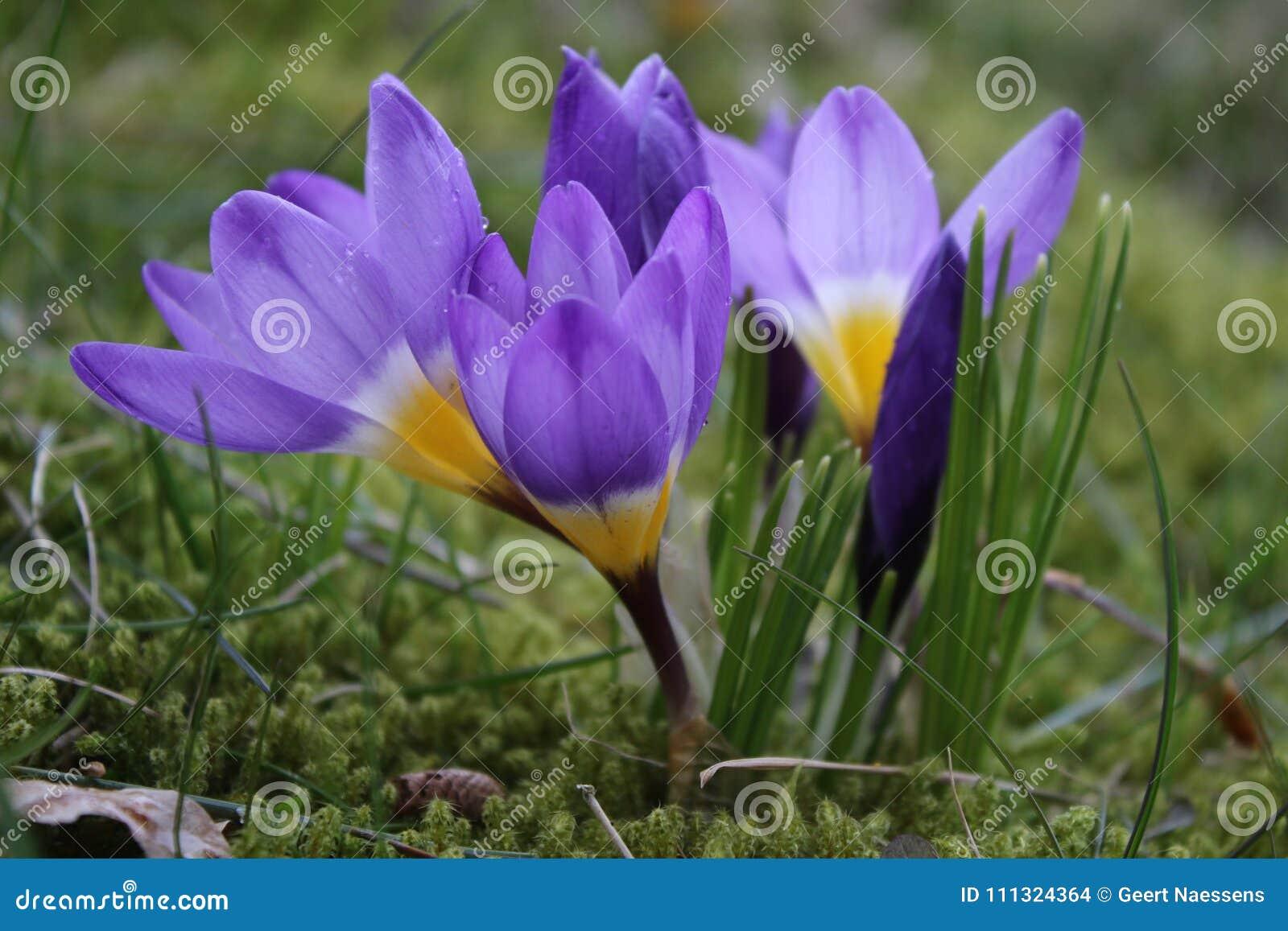 Flowering Purple Crocus Sieberii Tricolor In Spring Stock Photo ...