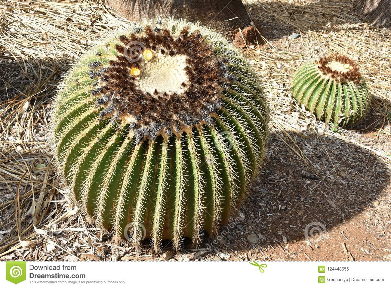 A Golden barrel cactus