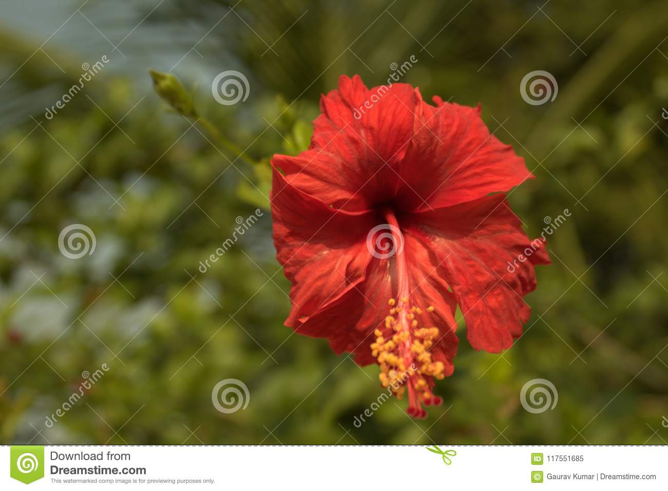 Hibiscus Flower Fulhad Flower Stock Image Image Of Worshiping