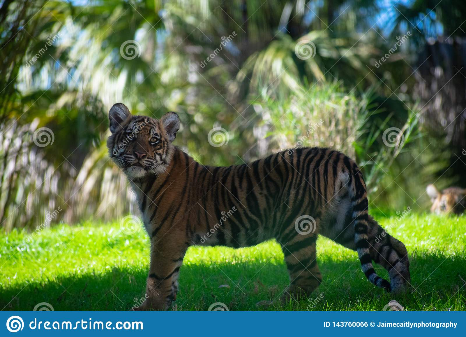 Tiger cub staring at me