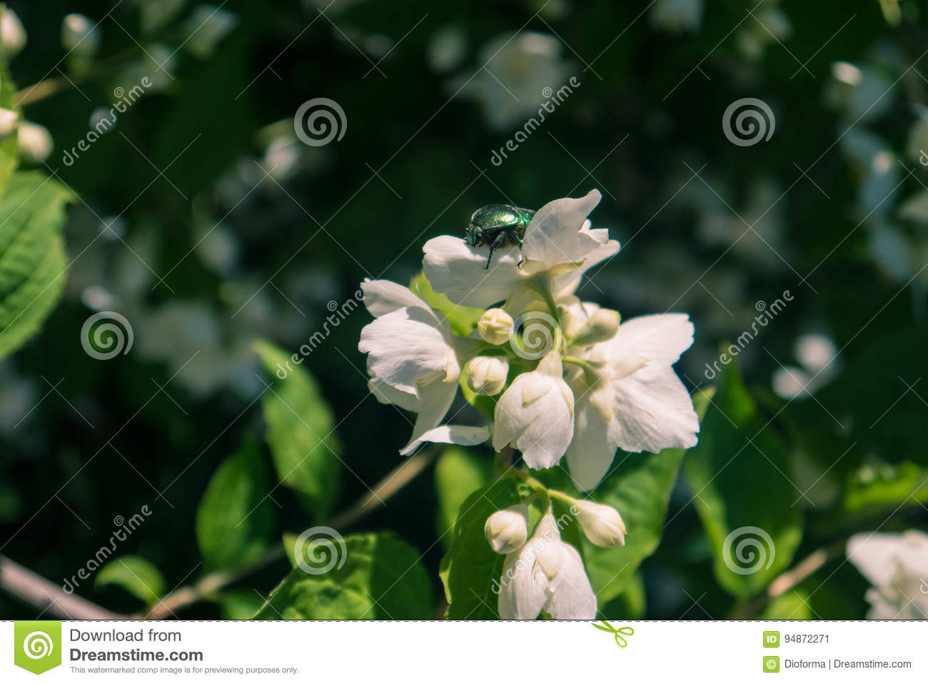 Picture Of Jasmine Flower Stock Image Image Of Bunch 94872271