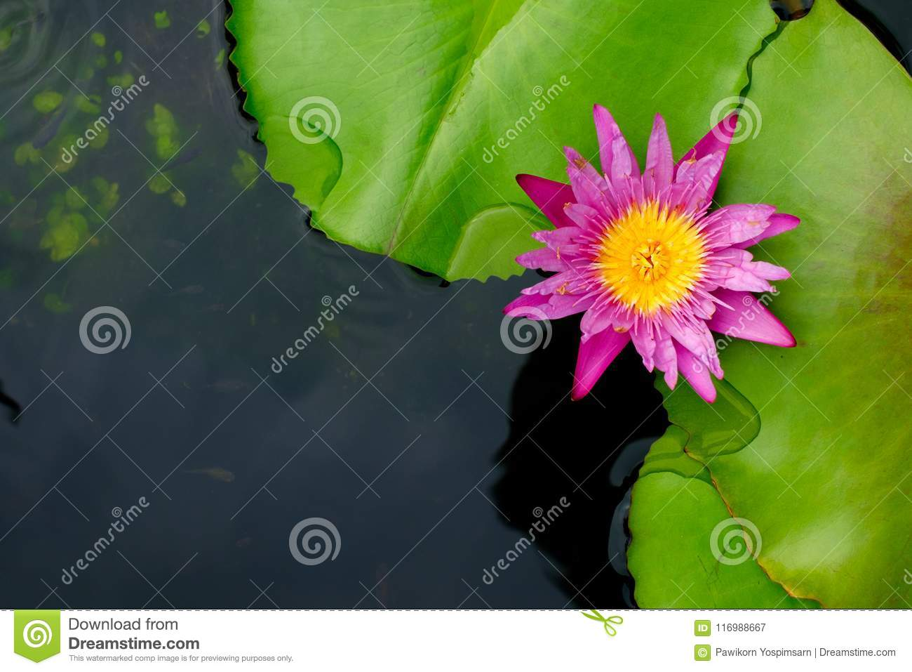 Lotus flower or water lily top view with copy space stock image download comp izmirmasajfo