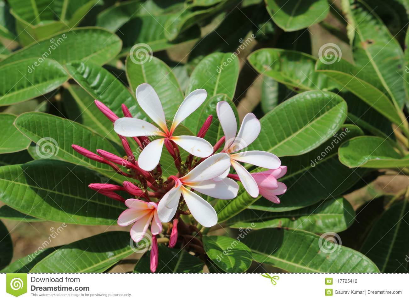 Magnolia Champa Flower In Park Red Color Stock Photo Image Of Look