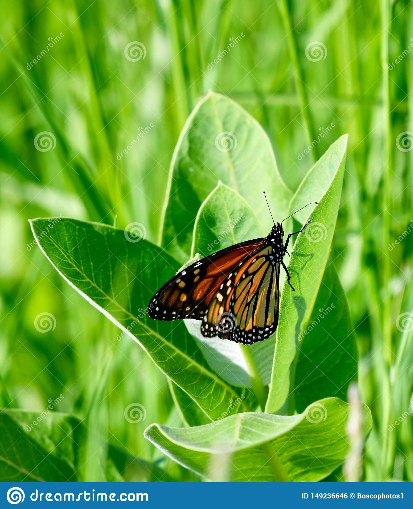 Monarch Butterfly: Wings Closed