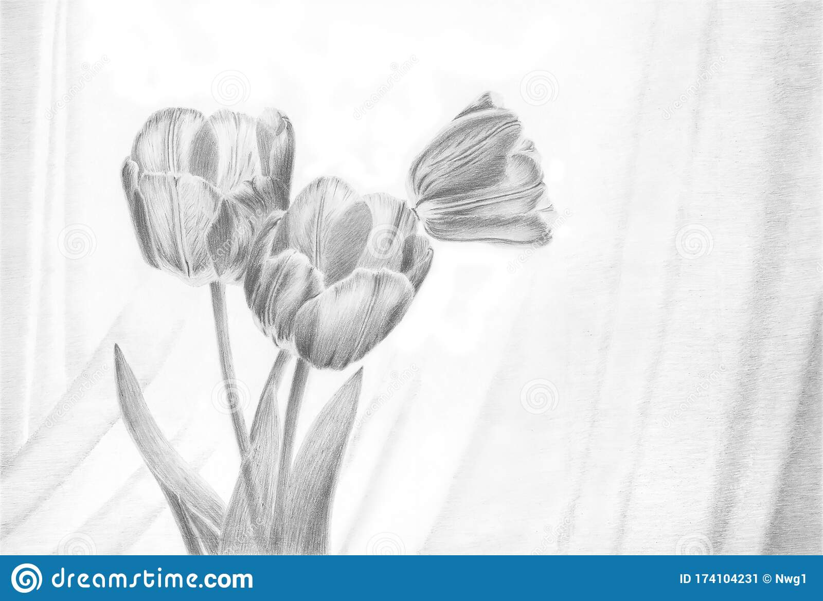 Picture Painting Picture Pencil Painting Graphic Painting Black And White Drawing Tulips Flowers Stock Illustration Illustration Of Simple Tulips 174104231