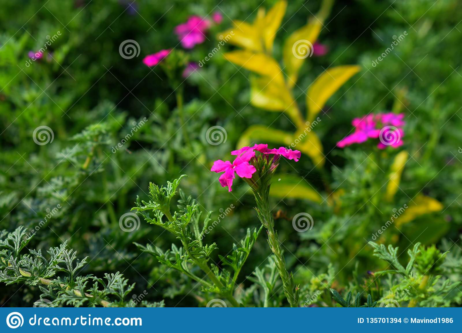 Pink colored attractive flowers in the garden with green leaves in the background
