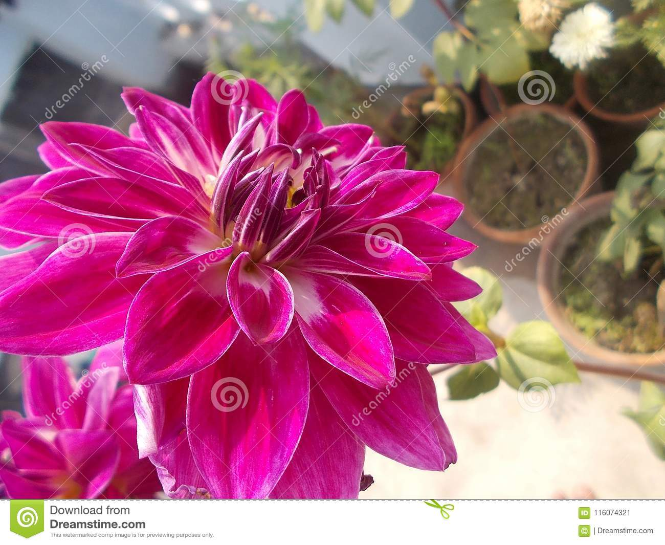 Pinky Healthy Flower Stock Image Image Of Colorful 116074321