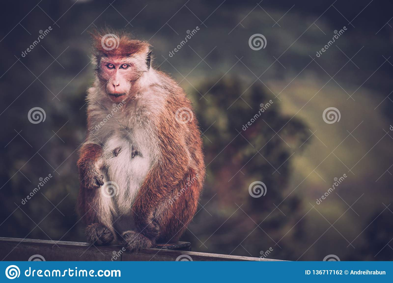 Picture Of Scary Monkey With Red Eyes Watching In The Camera Toned
