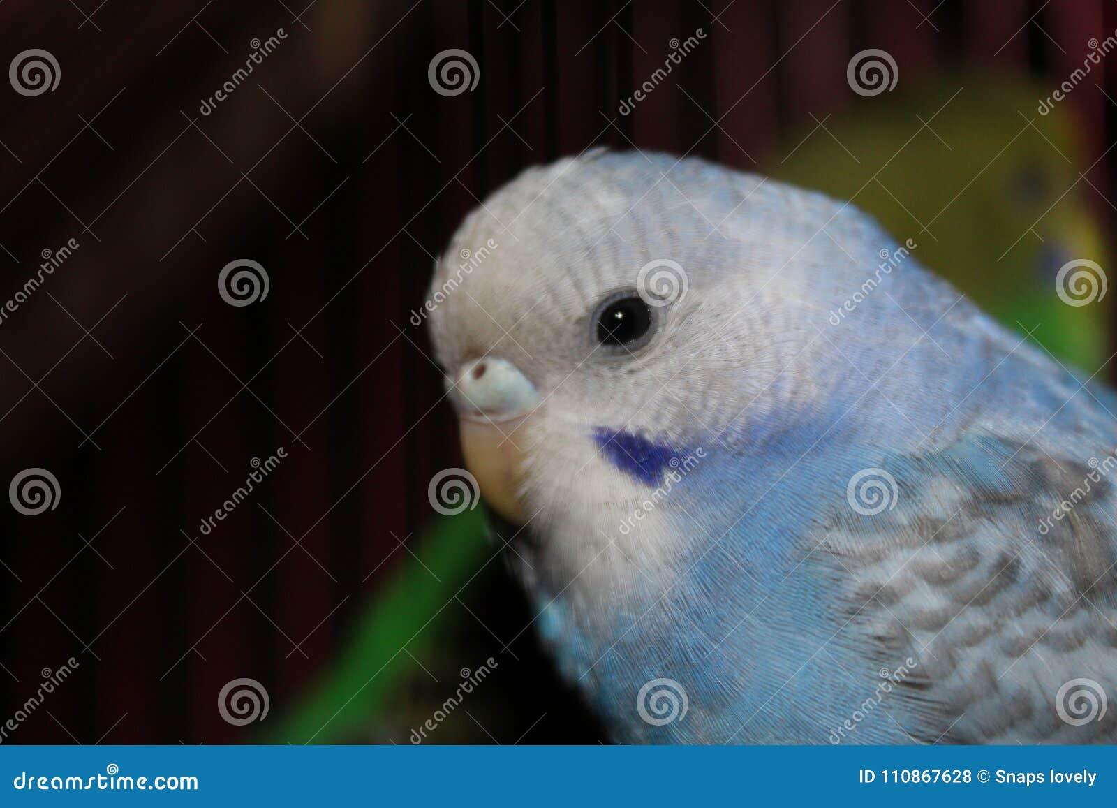 Lovebird Beautiful Blue And White Lovebird Stock Photo Image Of