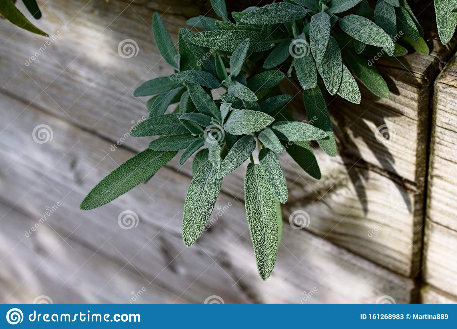 Spanish Sage In The Garden Stock Image Image Of Plants 161268983,Easy Meatball Recipe For Spaghetti