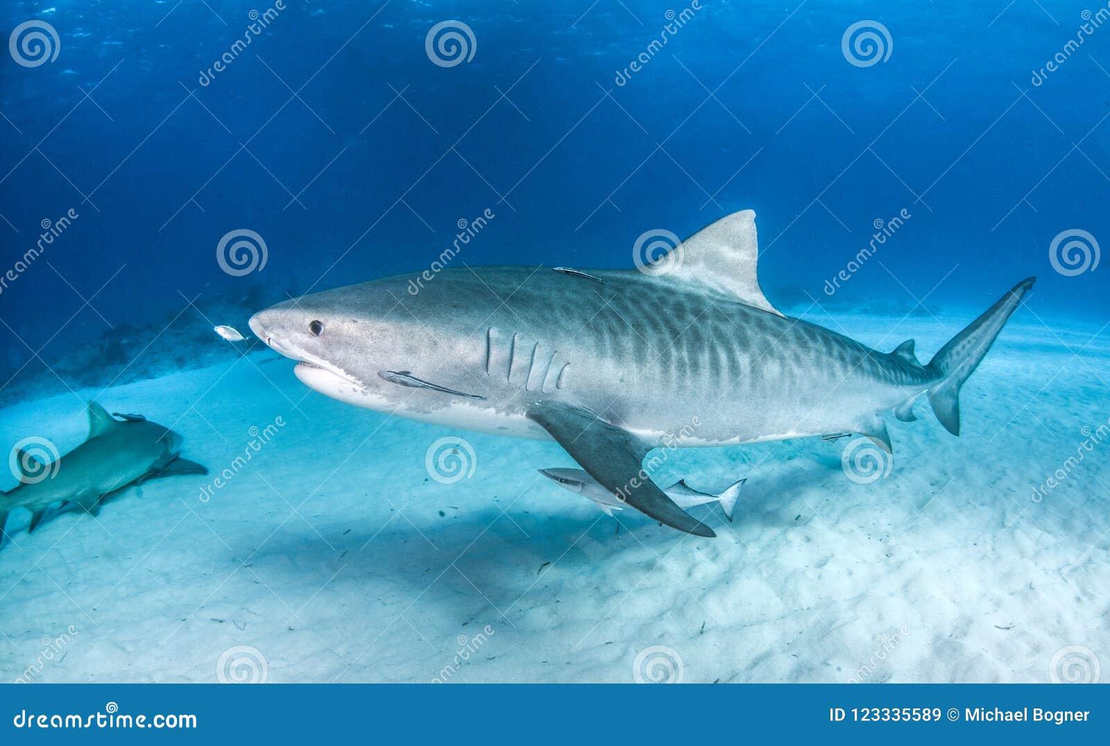 Tiger shark at the Bahamas