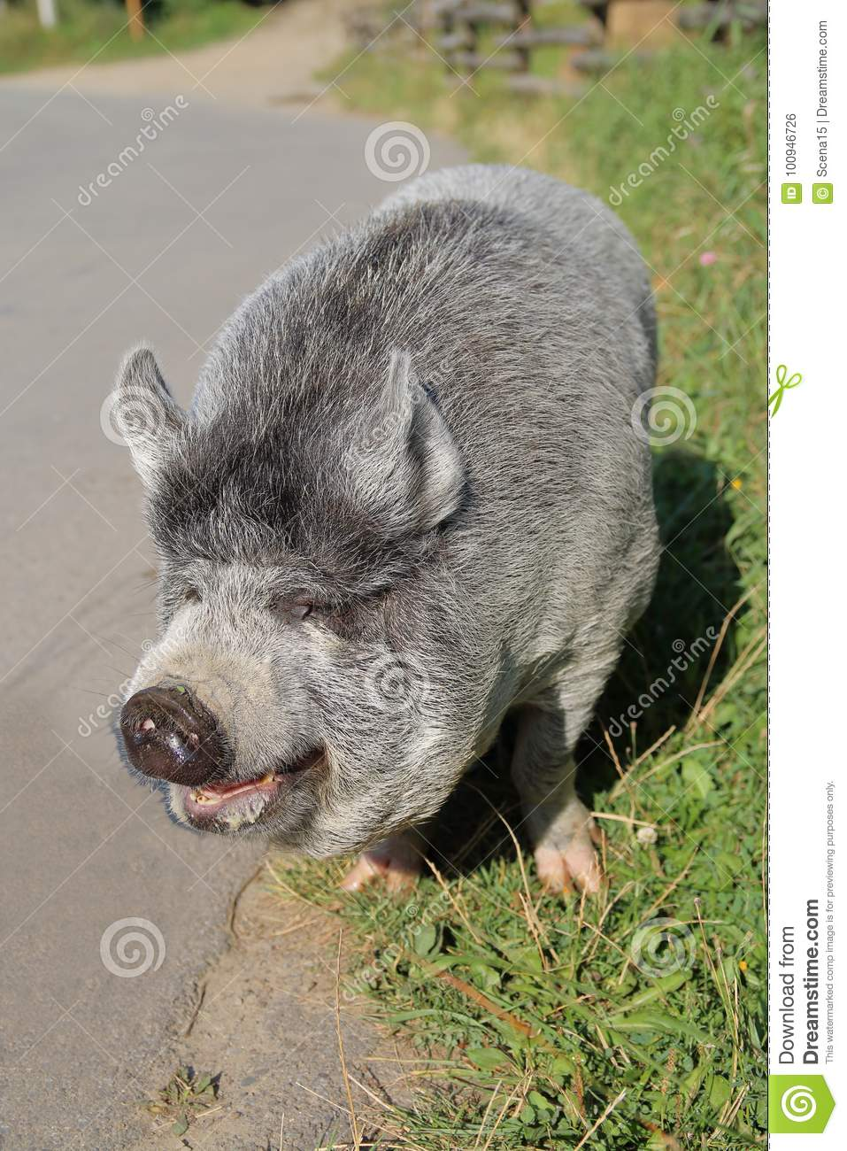Funny gray-haired piglet.