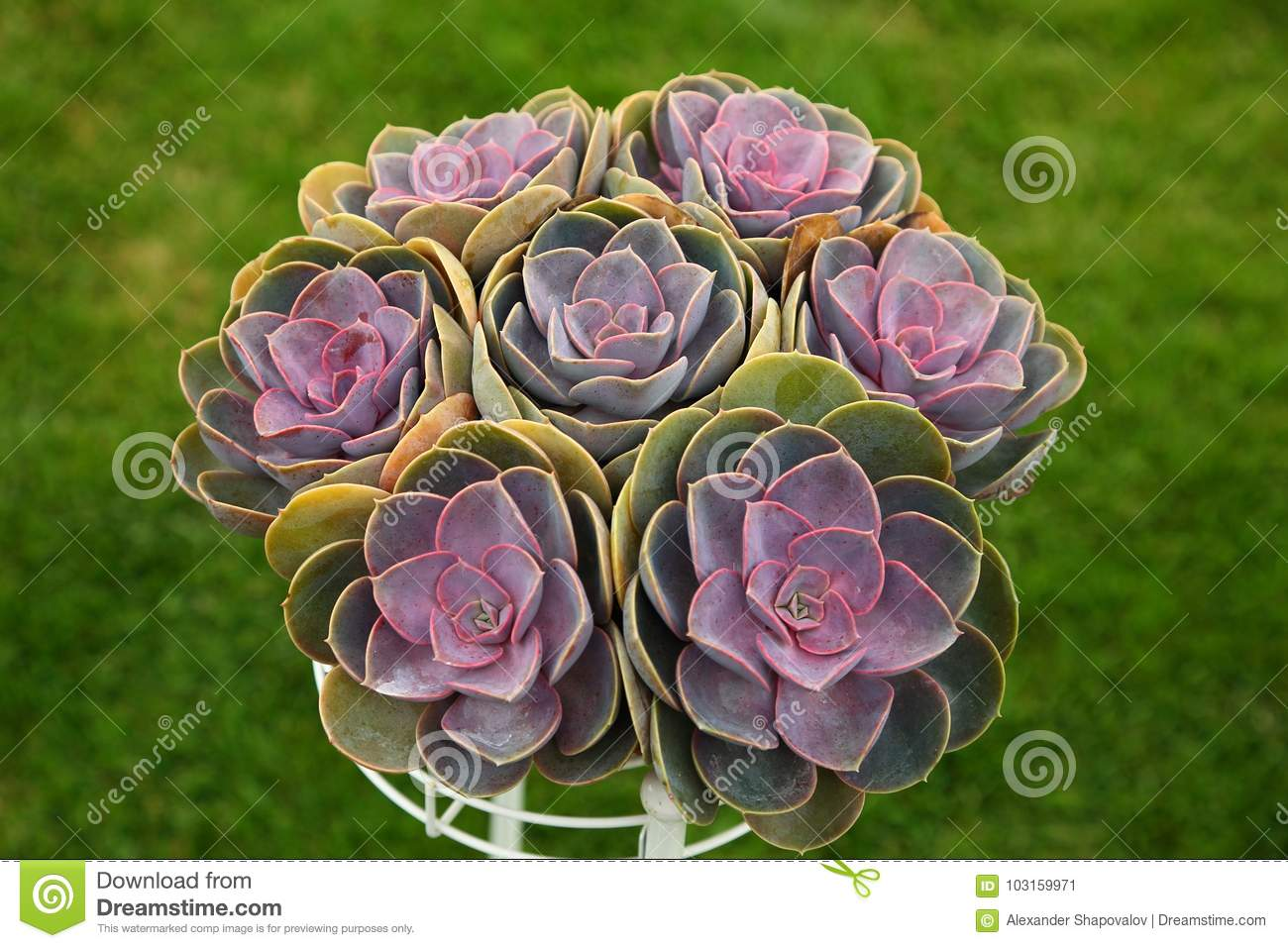 Aeonium isolated on a green background