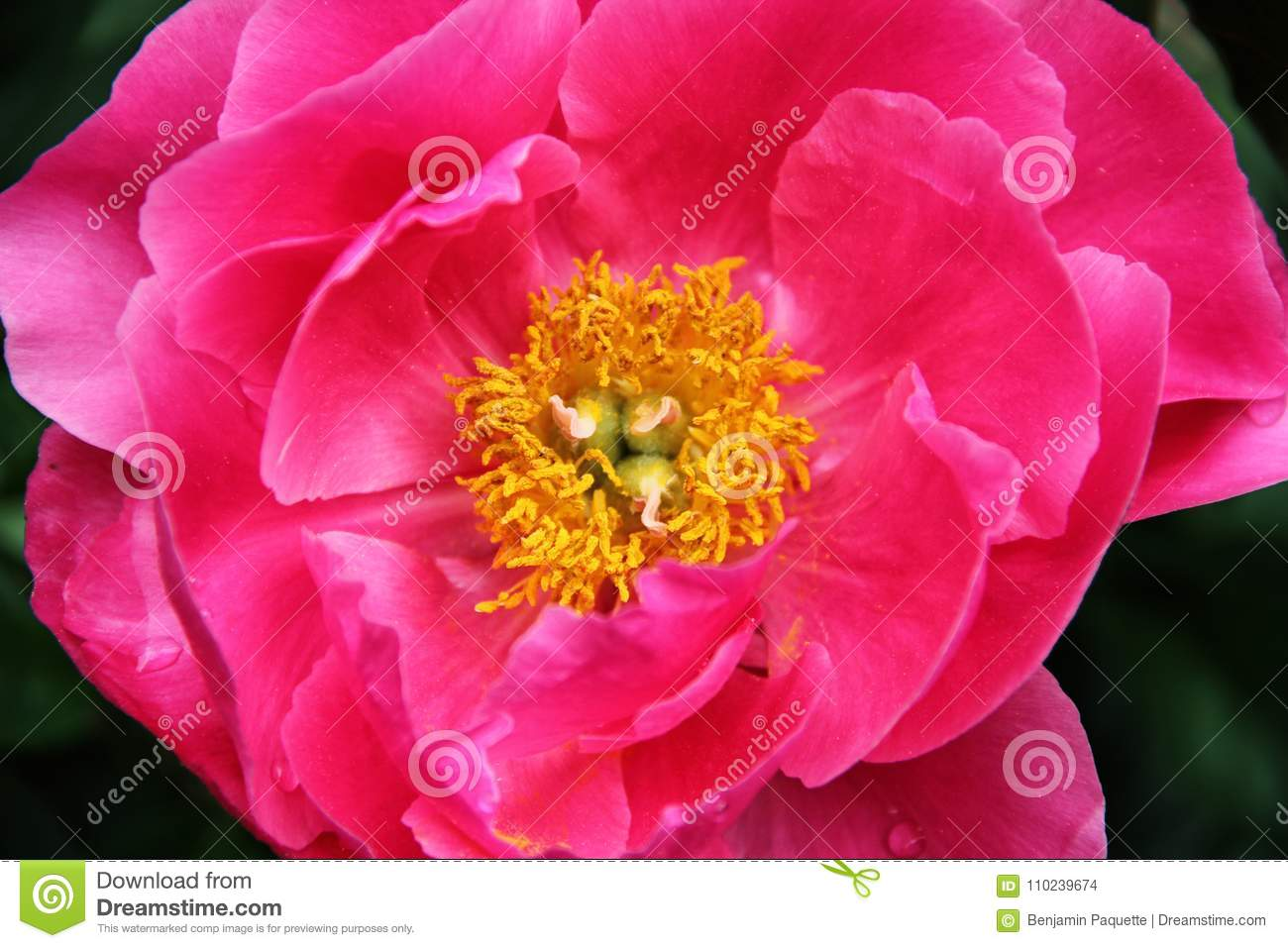Yellow Center Of A Pink Flower Stock Photo Image Of Center Flora