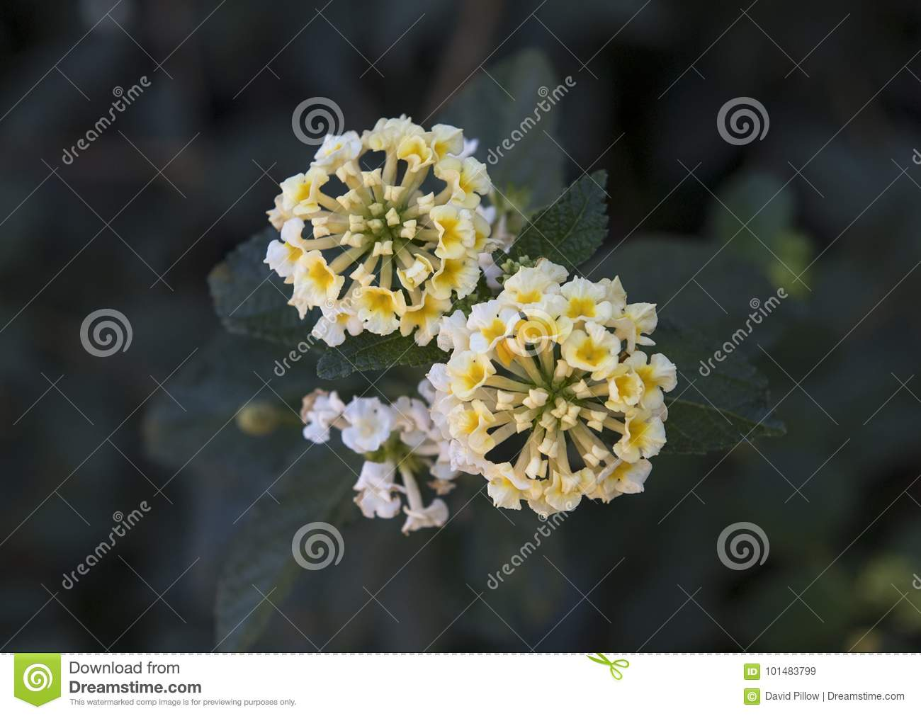 White And Yellow Flower Cluster Of A Lantana Plant Stock Image