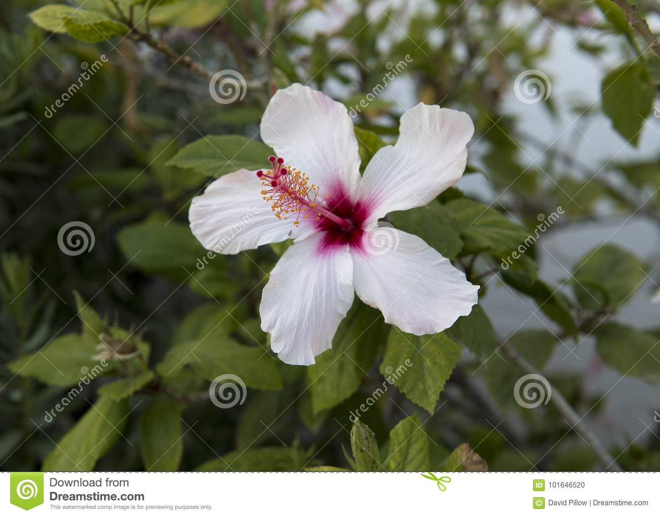 Closeup view of a single white hibiscus bloom stock photo image of download closeup view of a single white hibiscus bloom stock photo image of genus izmirmasajfo