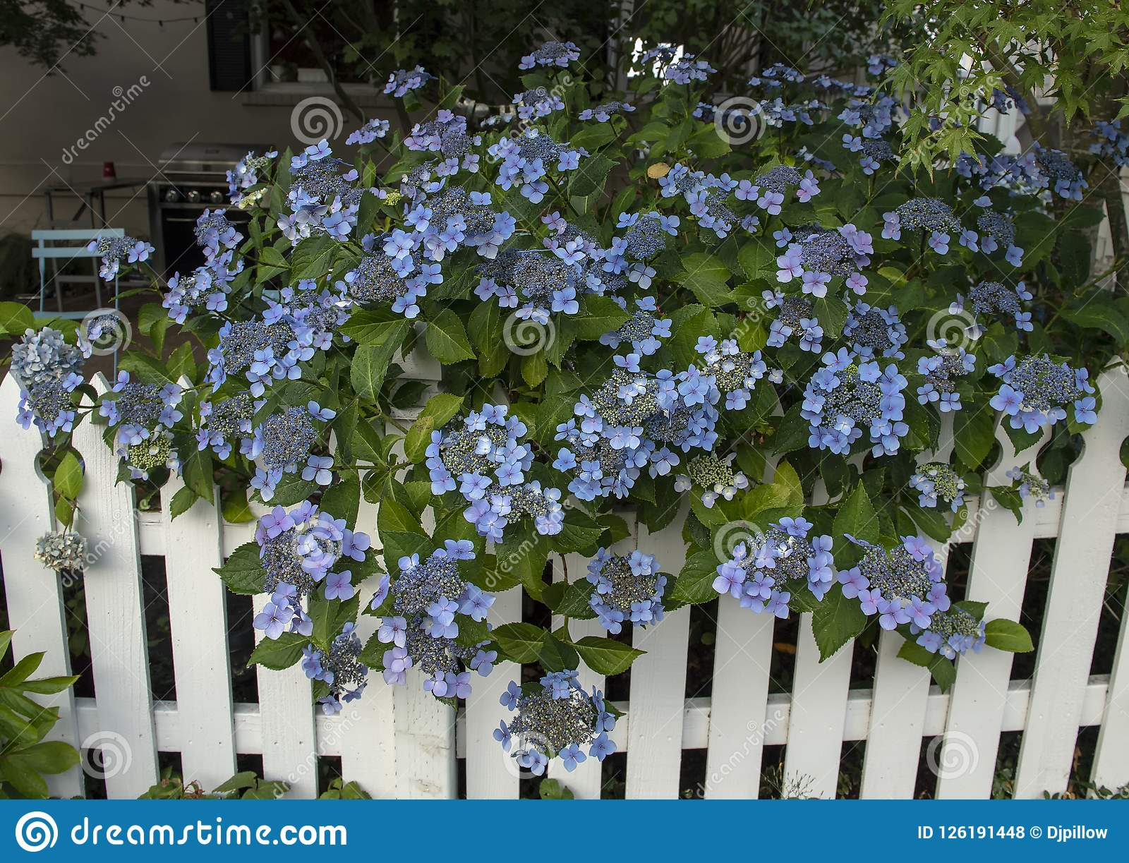 Shurb With Blue Flower Clusters Overhanging A White Picket Fence In