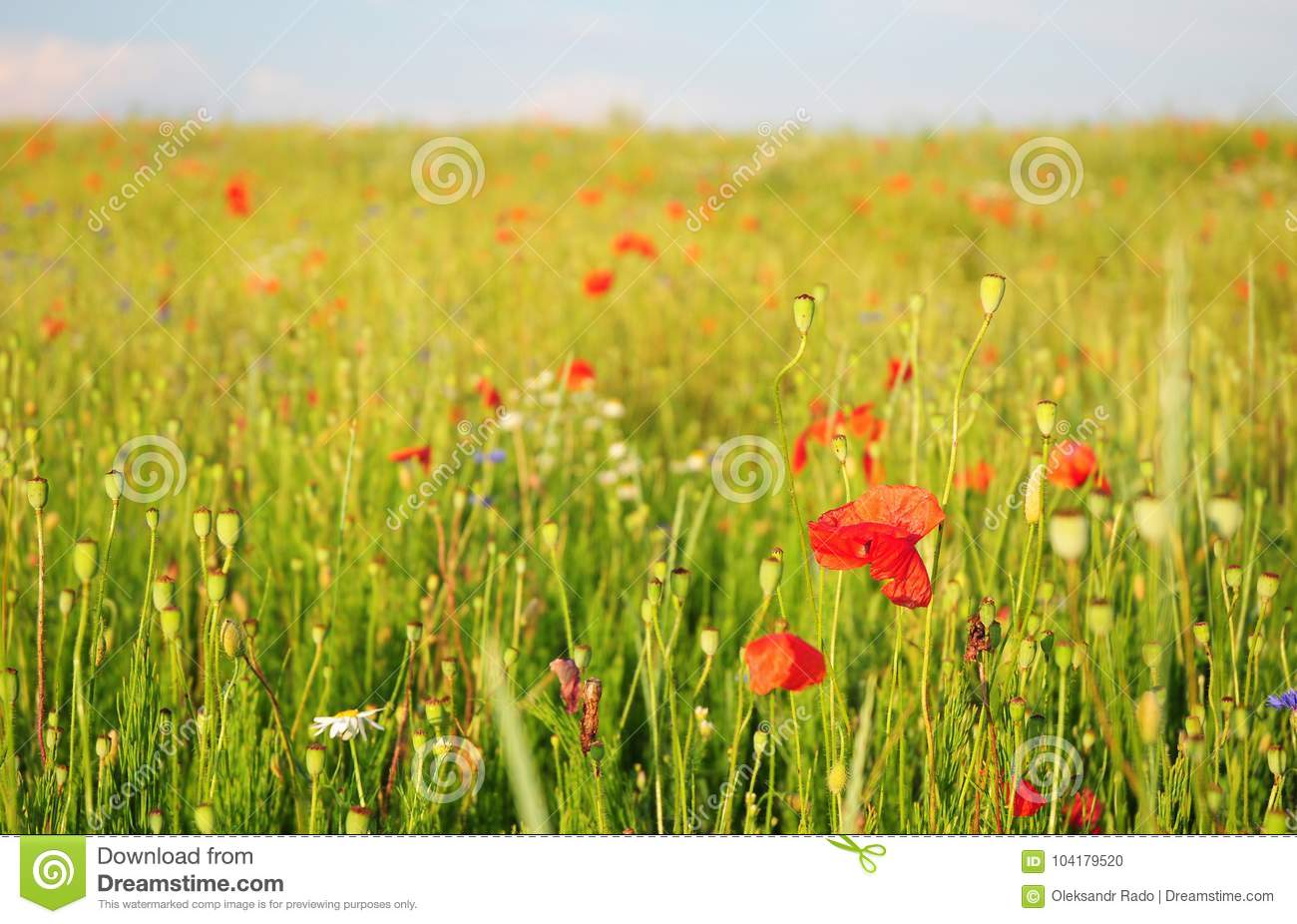 Pictures Of Poppies Flowers Blooming Red Poppies Flowers With