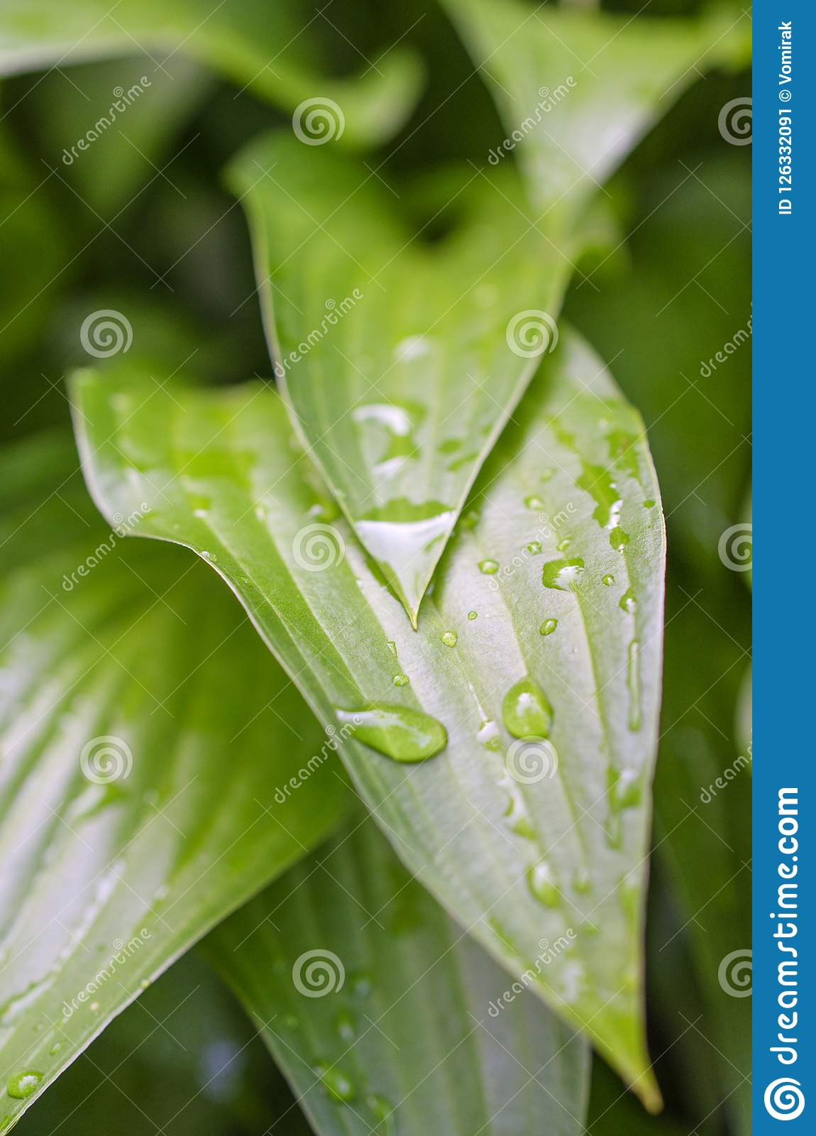 Picturesque bright green garden plant Host after the rain
