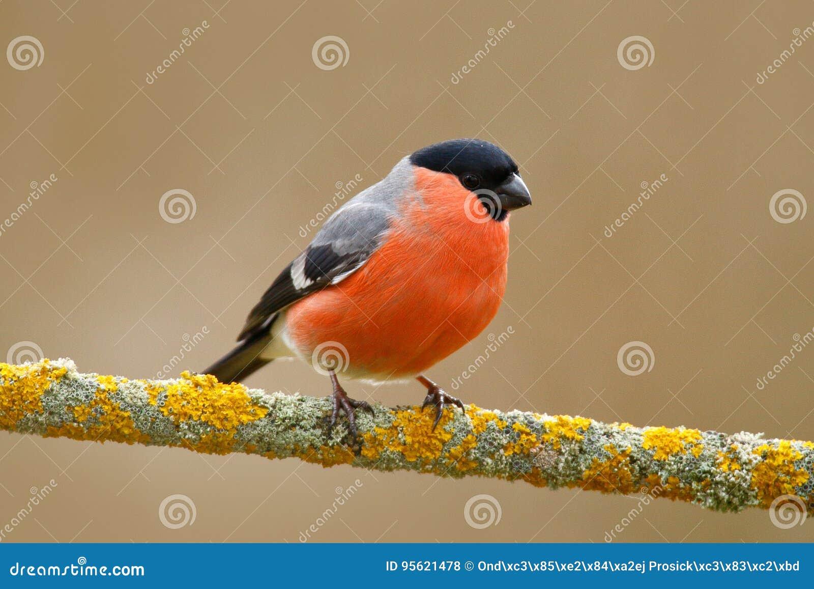 Pieśniowy Ptak W Naturze Gil Czerwony Ptak Zdjęcie Stock Obraz