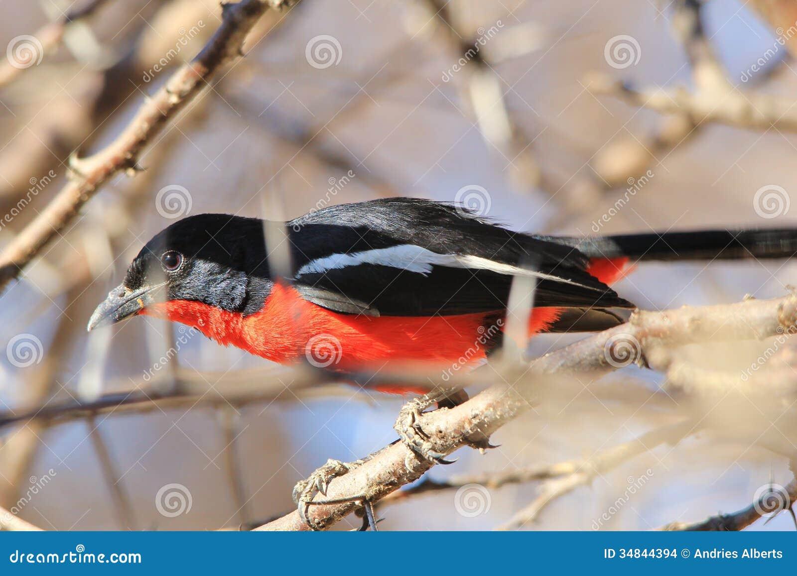 pie gri che cramoisie de breasted fond sauvage color d 39 oiseau d 39 afrique rouge curieux. Black Bedroom Furniture Sets. Home Design Ideas