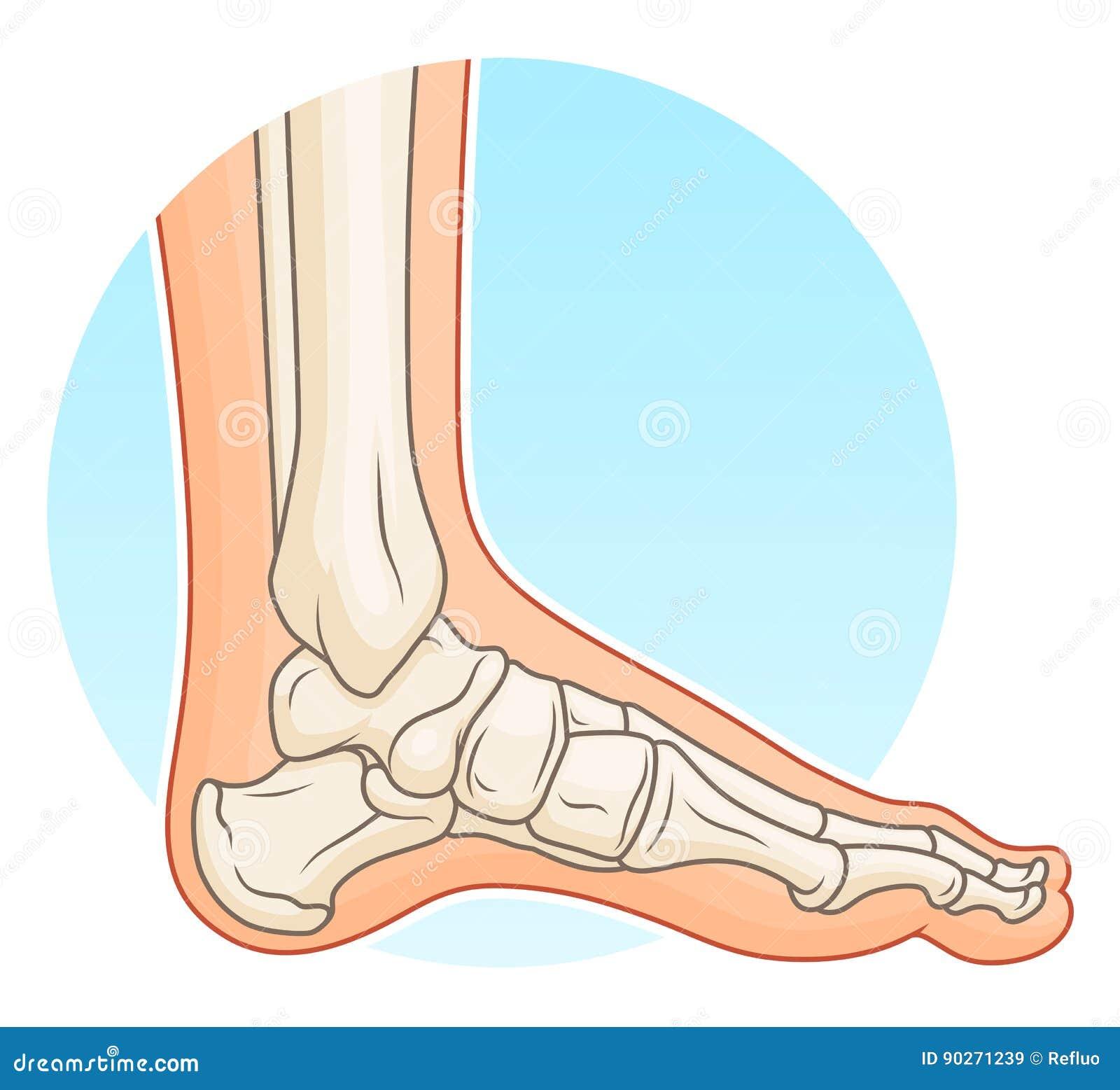 Pie humano con los huesos ilustración del vector. Ilustración de ...